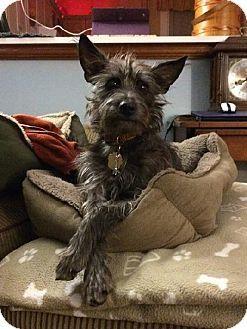 Schnauzer greyhound mix