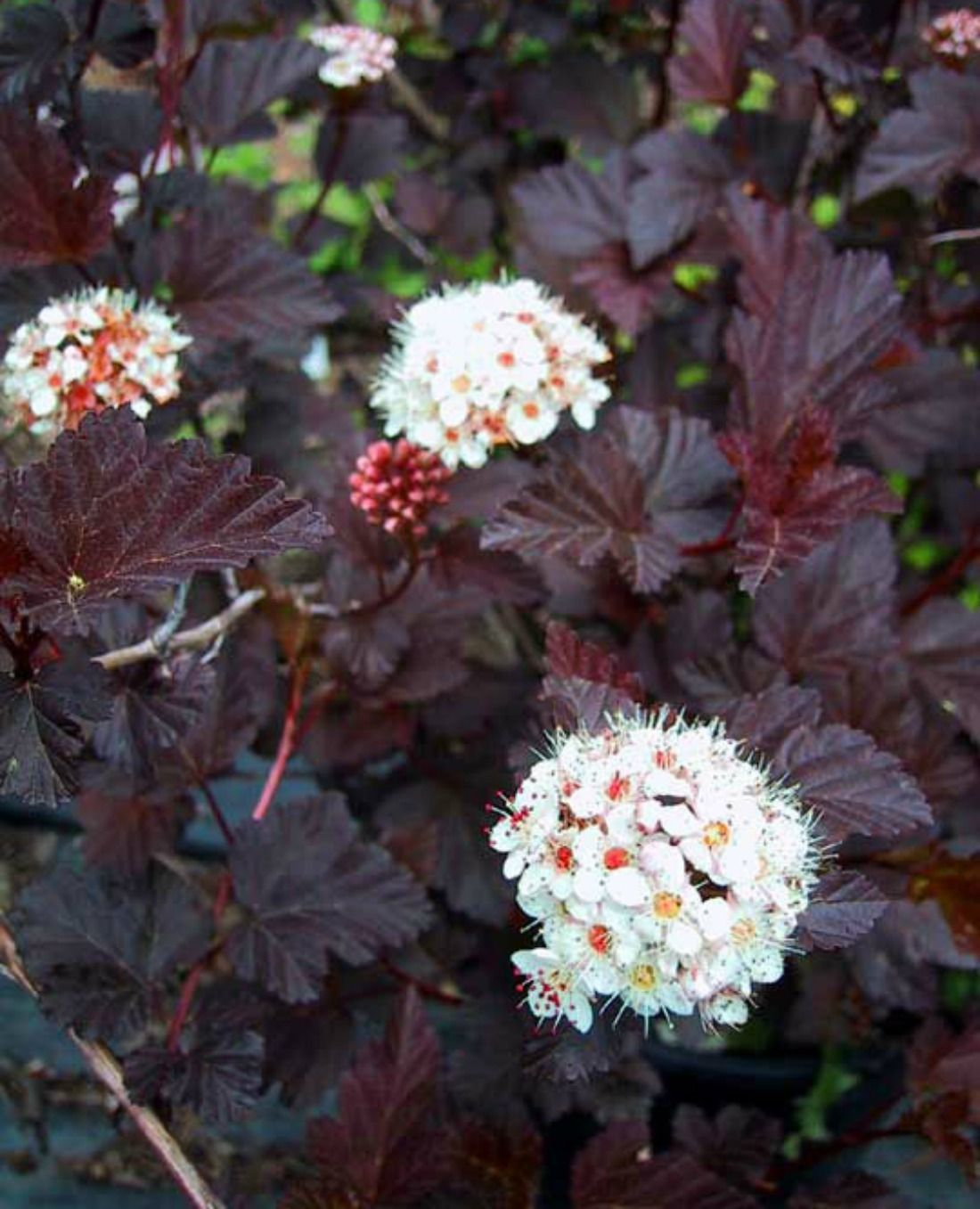Shrubs with purple flowers pictures - Physocarpus Opulifolius Ninebark Diabolo White Flowers Shrub Purple Foliage Tall Low Maintenance Whistler Pemberton Super Natural