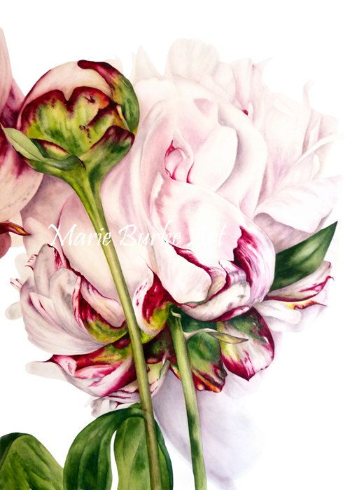 Peony And Bud Original Watercolour Painting Botanical