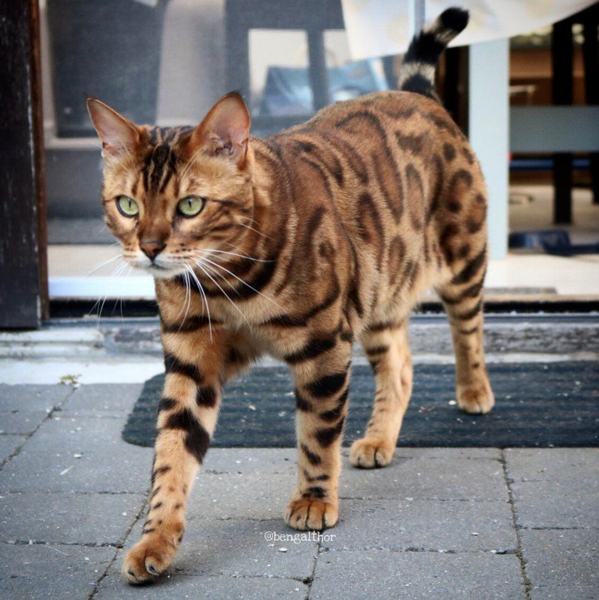 Cat Born With Incredible Tiger Stripes Is So Beautiful People Don T Believe He S Real Cats Unique Cats Norwegian Forest Kittens