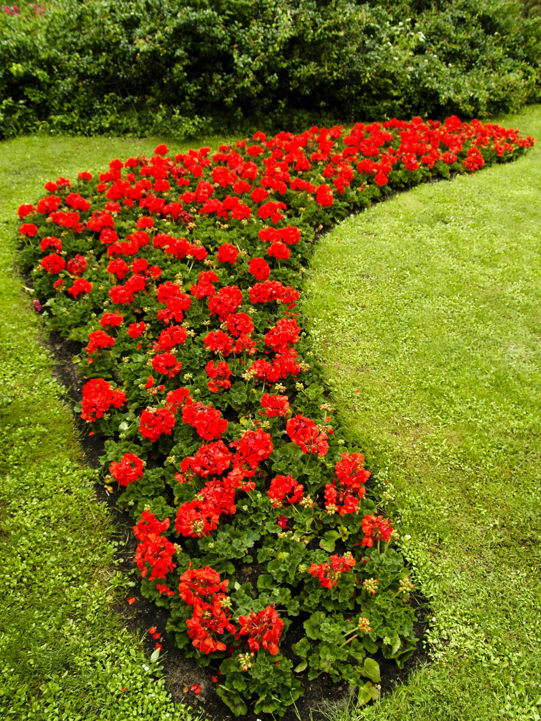 Red Geraniums Geraniums Garden Red Geraniums Flower Beds 400 x 300