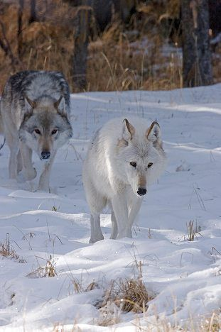 Gray wolves in Yellowstone
