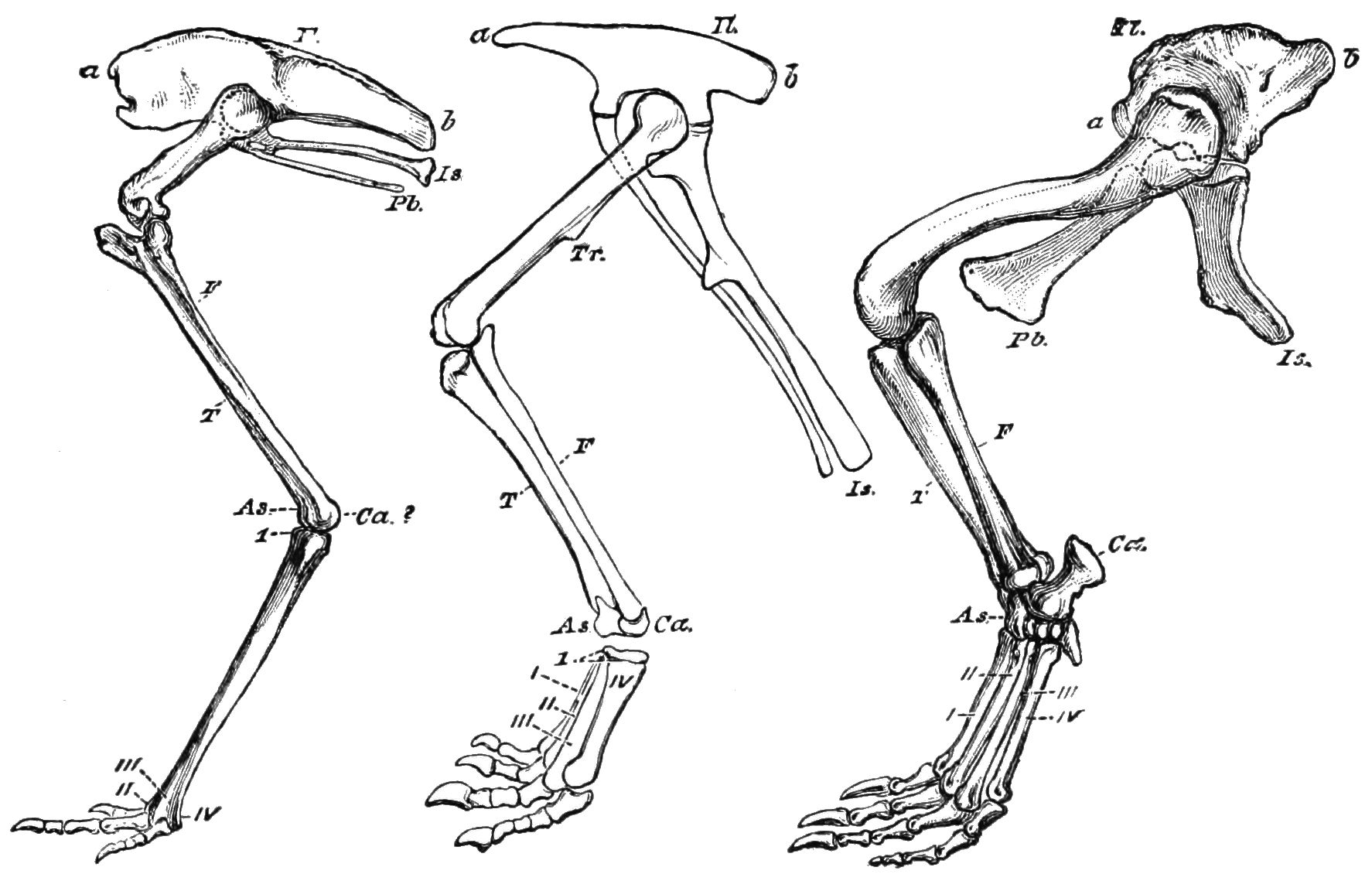 Dinosaur Leg Bone