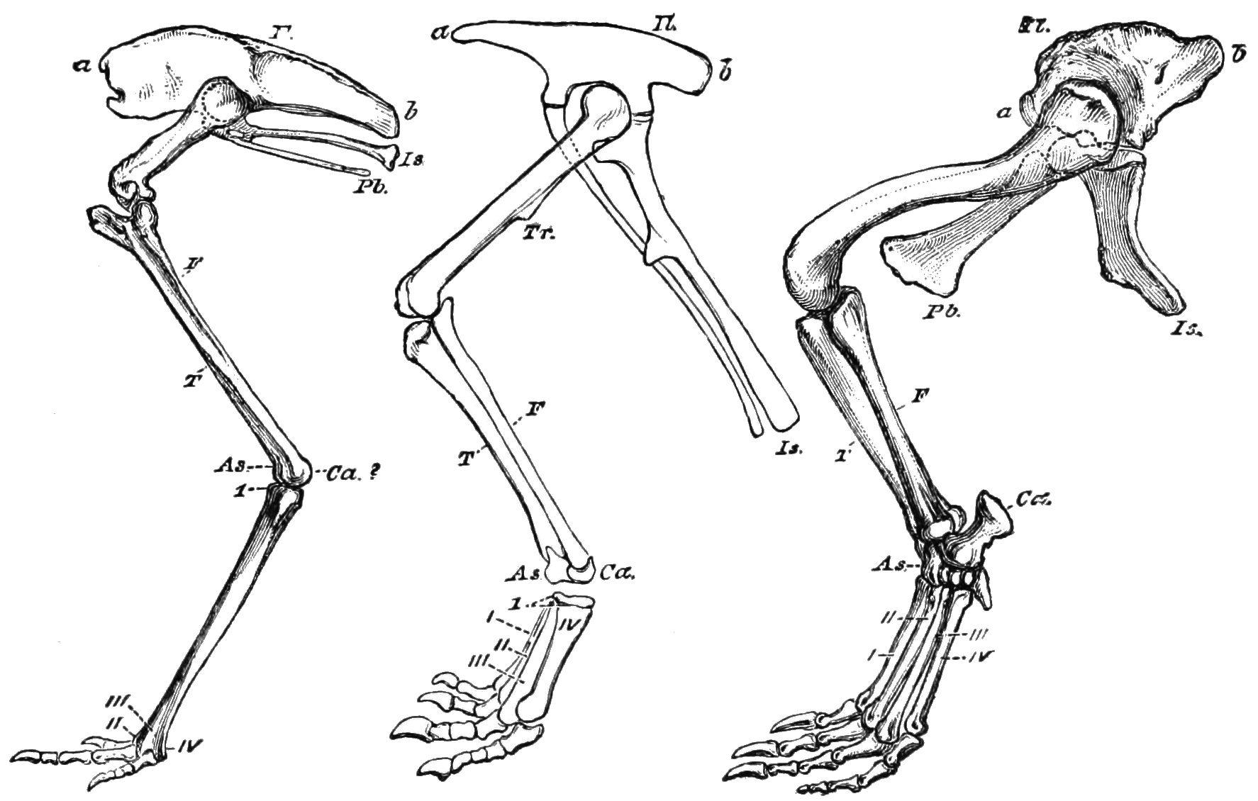 dinosaur leg bone - Google 検索 | HUMAN | Pinterest | Animal anatomy ...