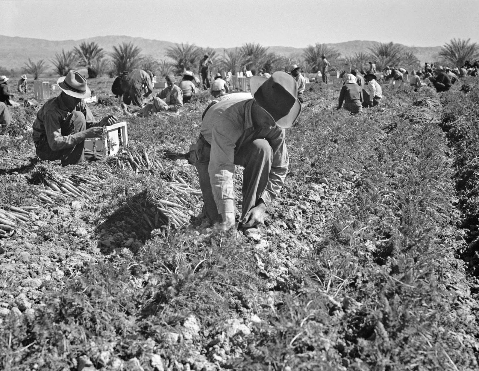 Dorothea Lange Dust Bowl | Carrot pullers from Texas, Oklahoma, Missouri, Arkansas and Mexico.