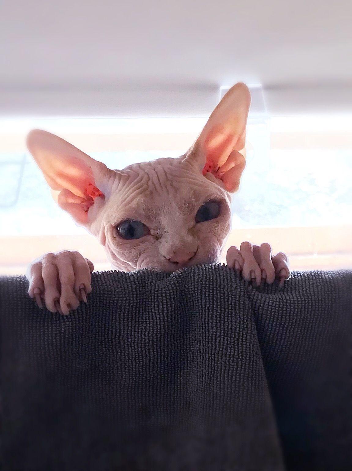 Sphynx Hairless Cat Sphynx Cat Cats