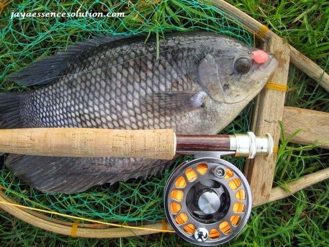Inilah Resep Umpan Jitu Ikan Gurame Di Kolam Terbaru Yang Sudah Terbukti Ampuh Dengan Tambahan Jaya Essen Yang Dapat Meningkatkan Kua Ikan Ikan Air Tawar Kolam