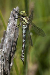Libelle des Jahres 2012: Blaugrüne Mosaikjungfer