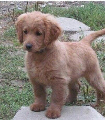 Fully Grown Golden Cocker Retriever A Forever Puppy So Adorable