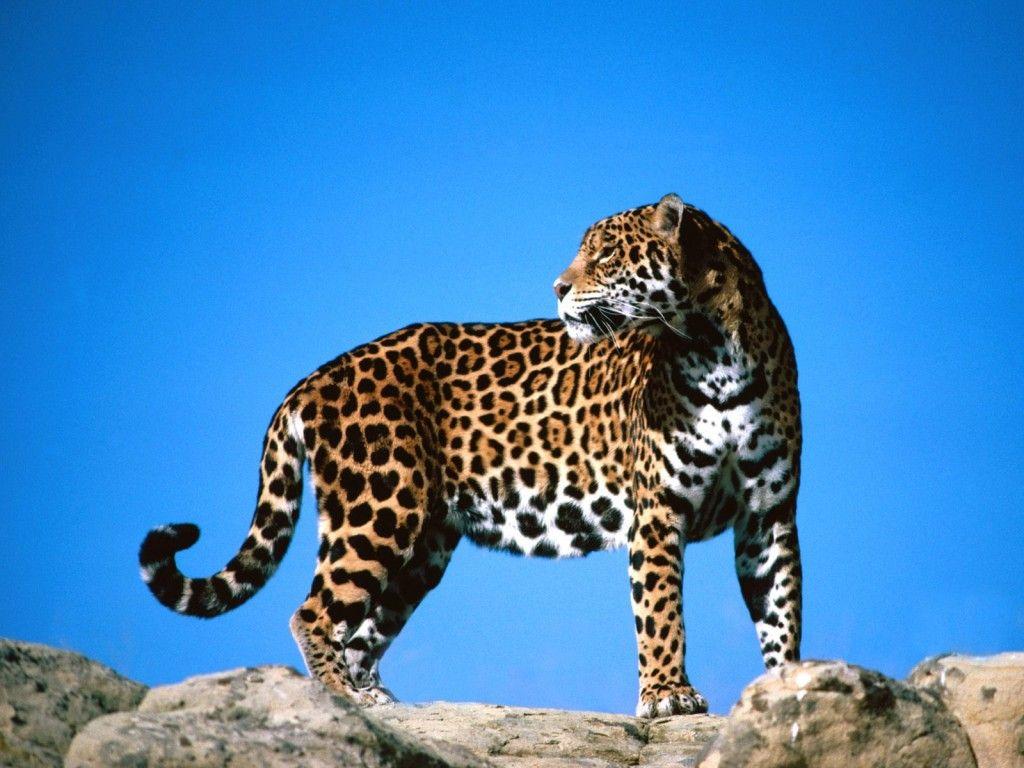 Fondos De Pantalla De Felinos: FONDITOS: Jaguar - Animales, Jaguares