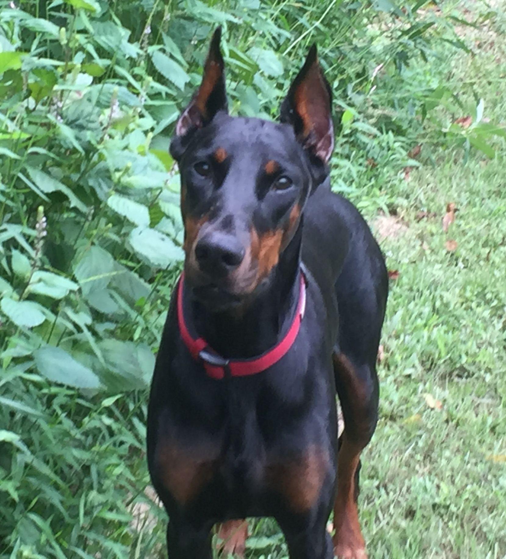 Adopt Trisha On Doberman Pinscher Doberman Doberman Pinscher Dog