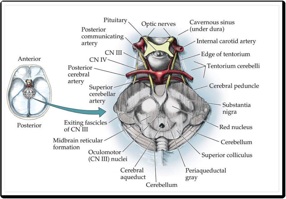 Image result for oculomotor nerve | ANATOMIA | Pinterest