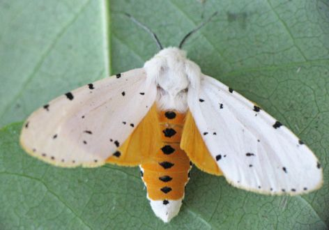 James's caterpillar came out of it's cocoon today. It was one of these - the salt marsh moth. They must be common here - we've hatched others in previous years