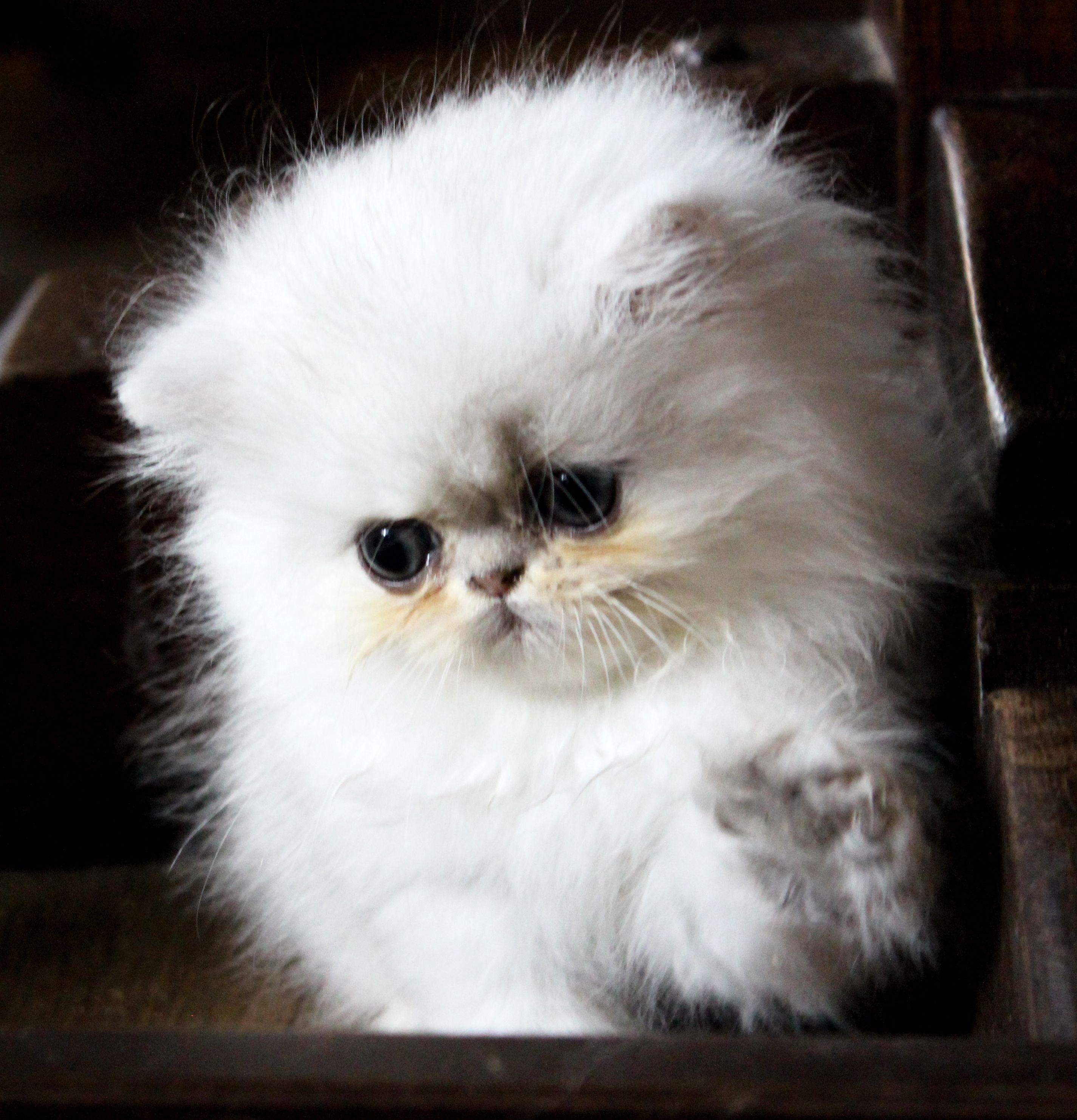 Vevosa Persians Persian kittens, Kittens, Kitten