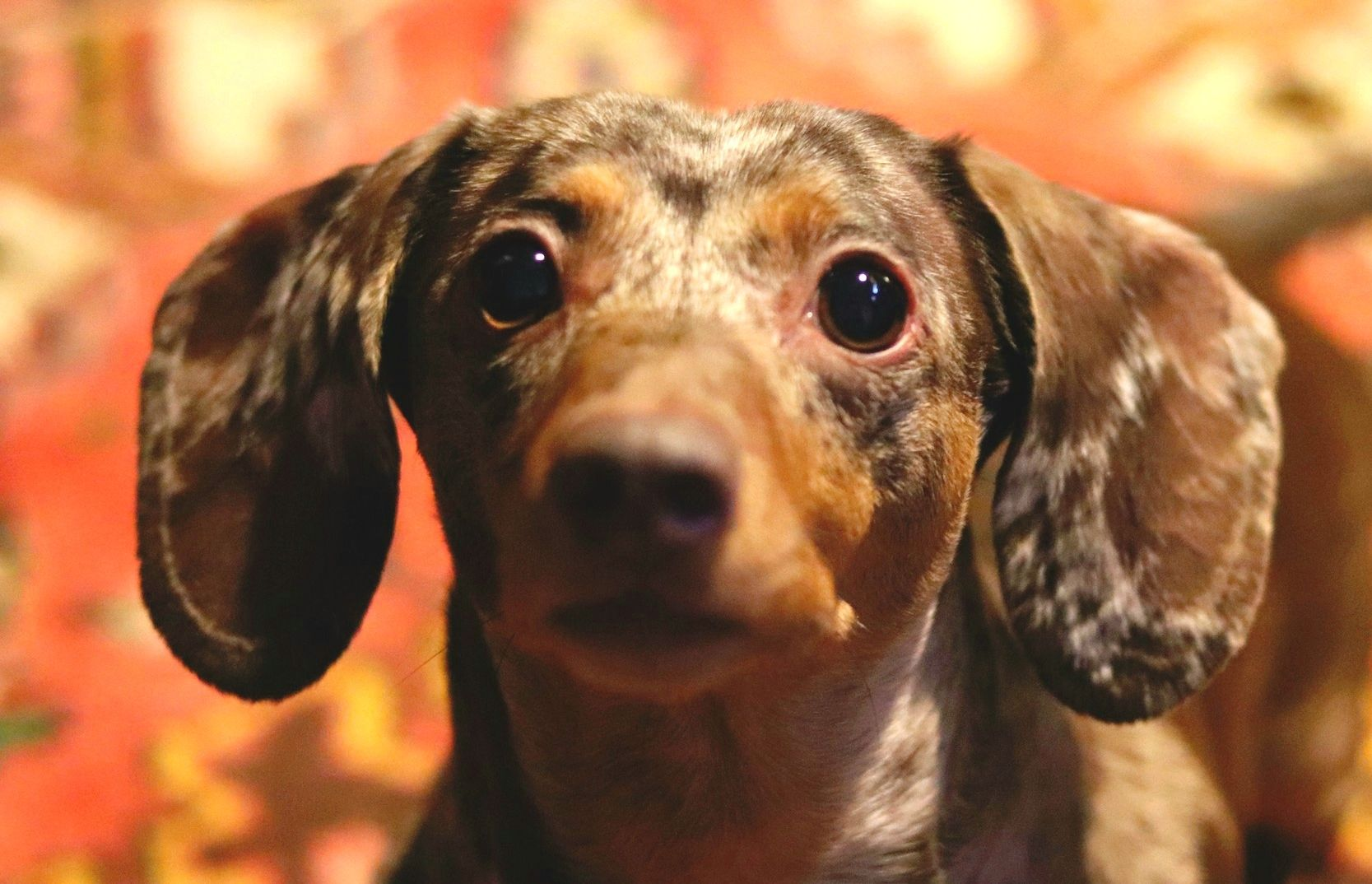Adopt Cami On Dachshund Rescue Dachshund Dog Pets