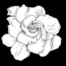Image Result For Gardenia Drawing