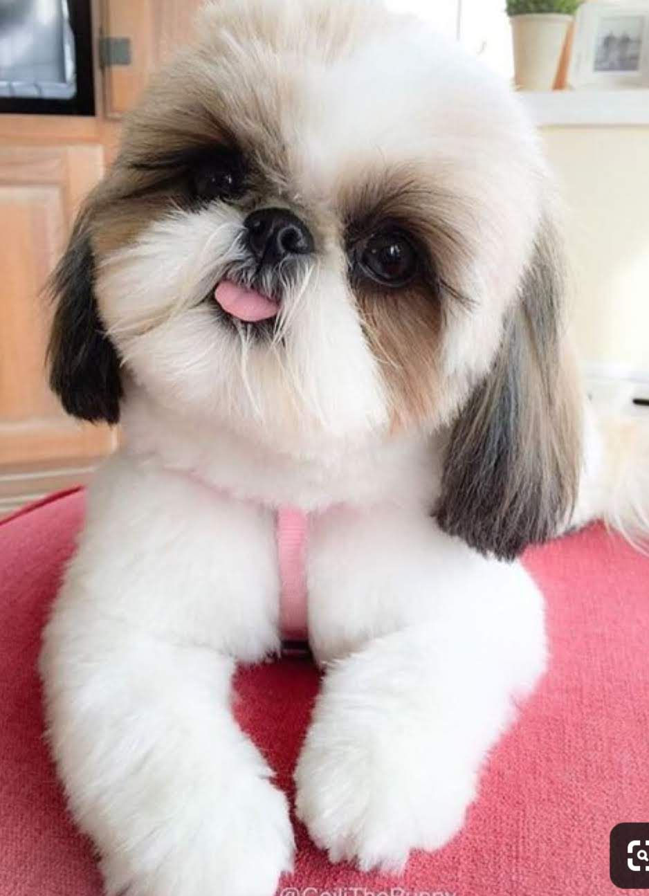 Pin By Michaelle Maggitti On Love My Shih Tzu Pals Shitzu Dogs Cute Dogs Breeds Cute Dogs