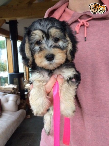 Stunning Schneagle Pup For Sale PRA Clear Puppies for