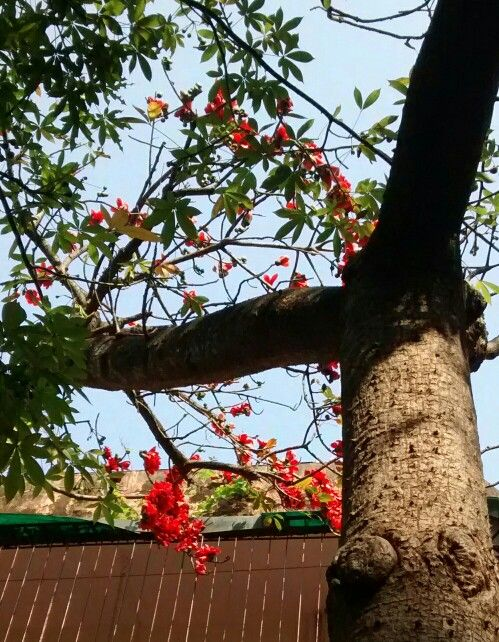Silk Cotton Flowers Flowers Tree Flora