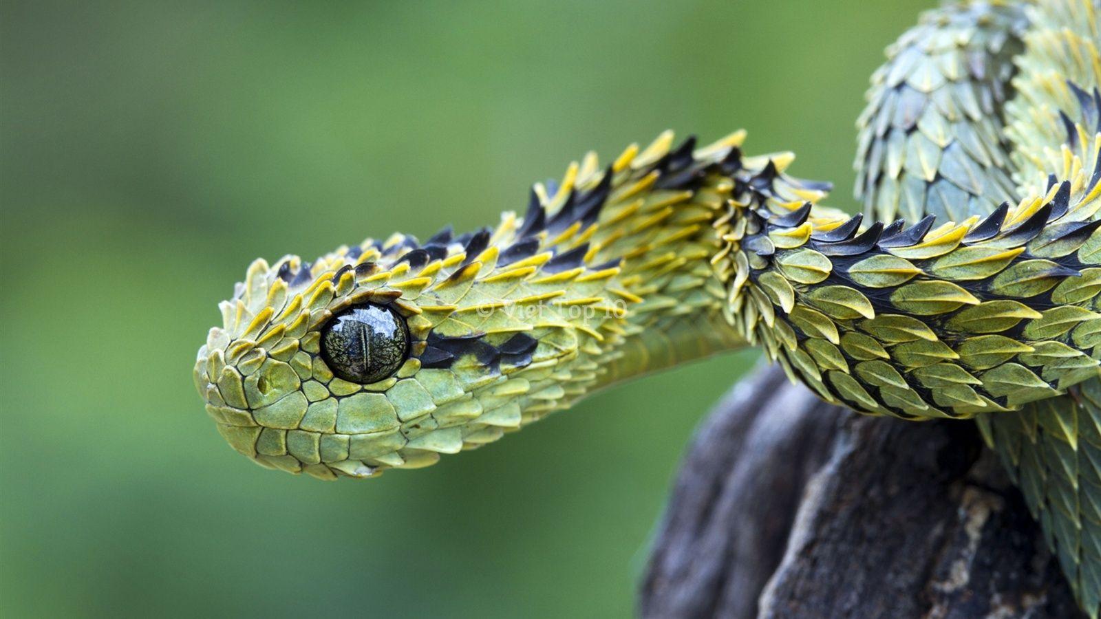 loài rắn kỳ lạ và độc đáo - việt top 10 - việt top 10 net - viettop10