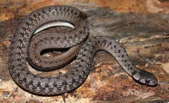 Brown Snake 6 13 In 17 33 Cm These Small Snakes Are Usually