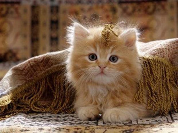 kitten under rug
