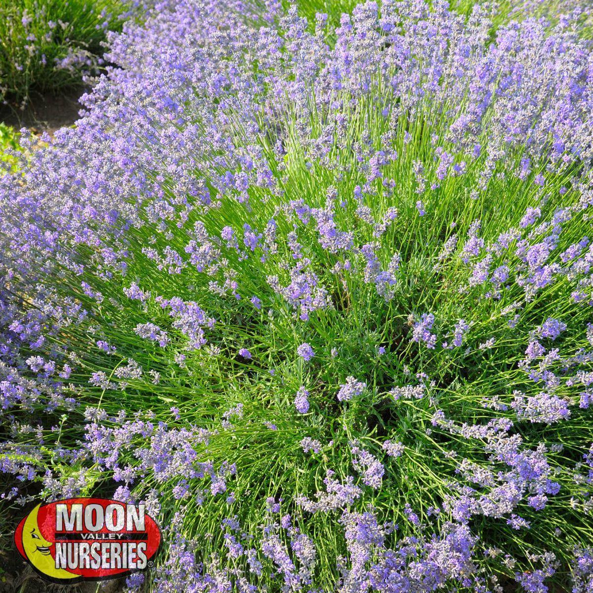Lavender Planting Shrubs Plant Design Sun Plants