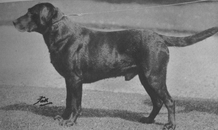 Labrador Retriever Pedigree Of Dual Champion Banchory Painter L