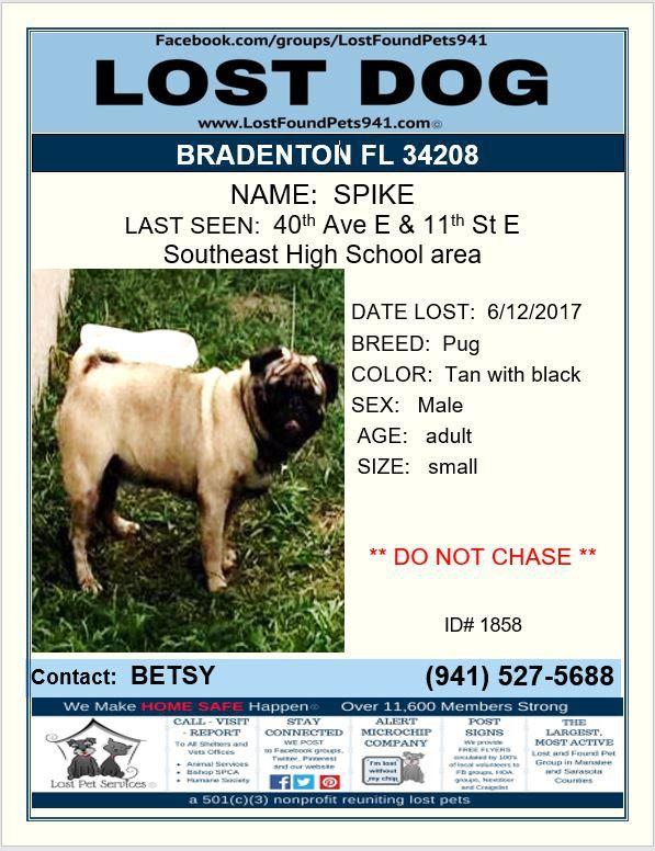 Have You Seen Spike Lostdog Pug Missing Bradenton Fl 34208