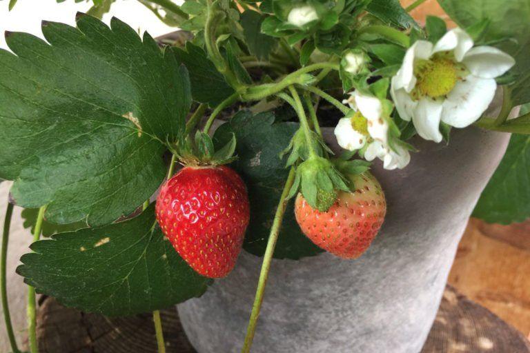 Wie Pflanzt Man Erdbeeren
