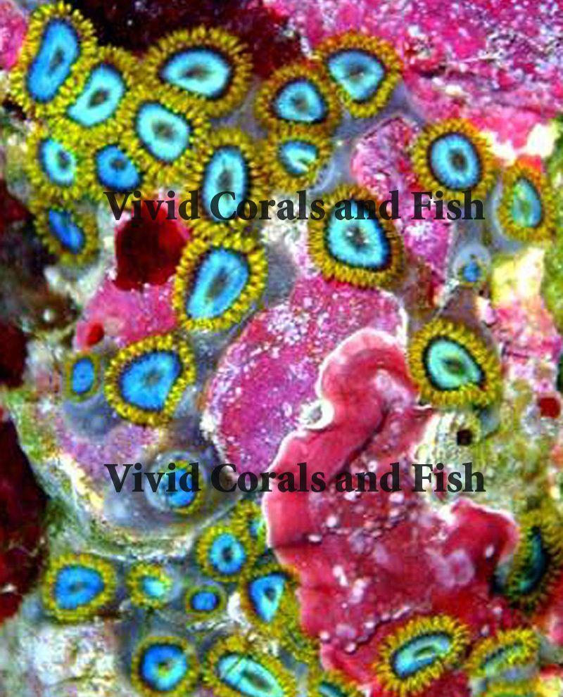 Blues Clues Zoa Live Corals Zoas Palys Palythoas Zoanthid Zoanthids Zoa Akvarier