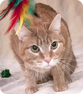 ADOPTED!!! Chicago, IL Domestic Shorthair. Meet