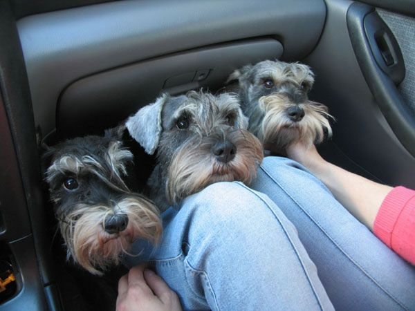 12 Realities New Schnauzer Owners Must Accept Schnauzers