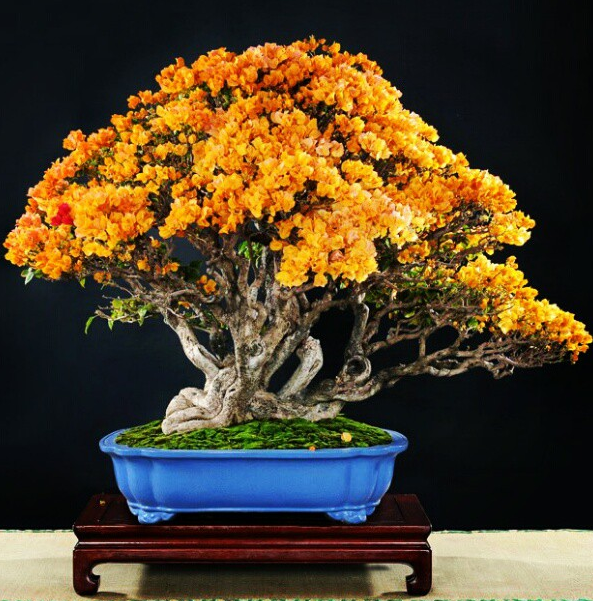 Bougainvillea Bonsai Note How Yellow Flowers Really Stand Out W Blue Of Pot Pick A To Compliment The Leaves Reg Or Fall Colors Bark Fruit