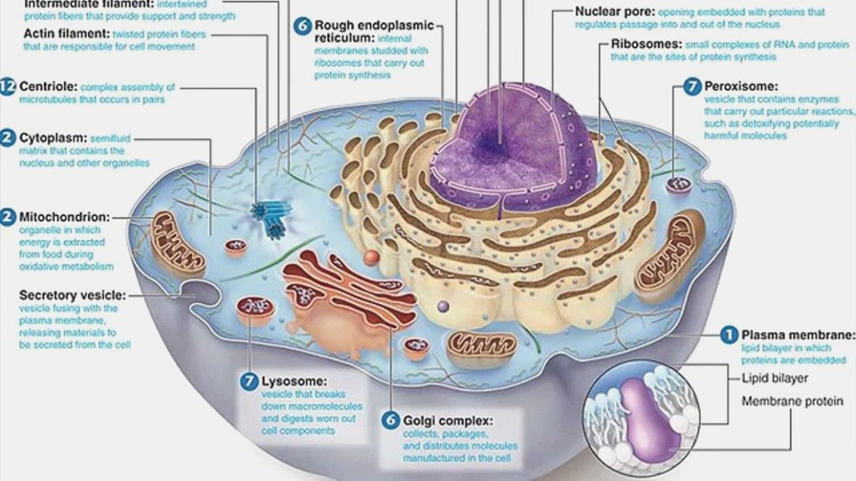 Animal Cells Diagram with Labels Beautiful Animal Cell ...