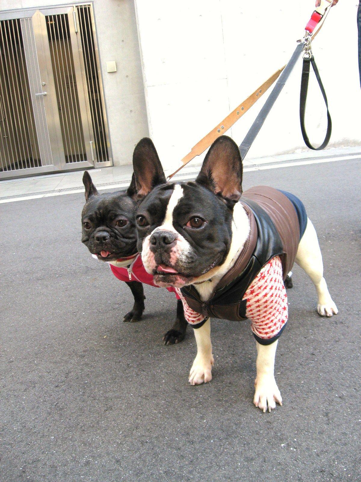 Ms Choco French Bulldog Bulldog Puppies Cute Animals Cute Dogs