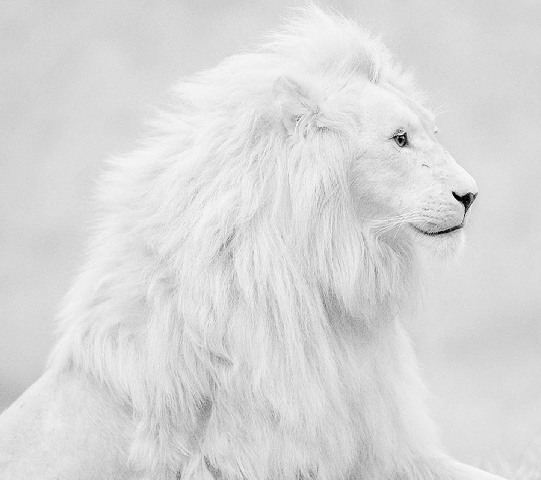 Lion Hd Wallpapers Free Wallpaper Downloads Lion Hd Desktop 1440 1280 White Lion Images Adorable Wallpapers Albino Lion Cute Animals Albino Animals