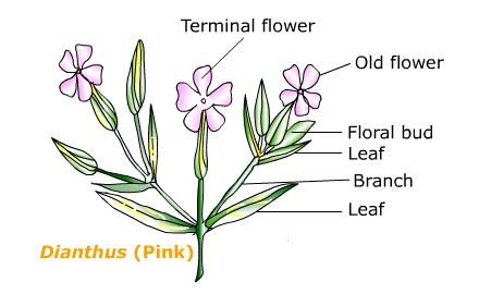 Illustration of dichasial cyme flower plants pinterest plants illustration of dichasial cyme ccuart Images