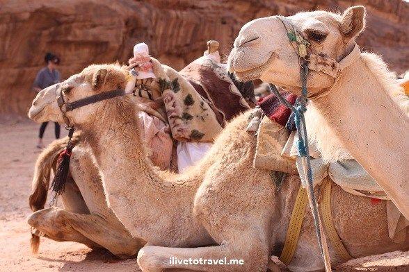 0c6aac9394c3 Camel resting before taking visitors around the Wadi Rum  Jordan  exploring   travel