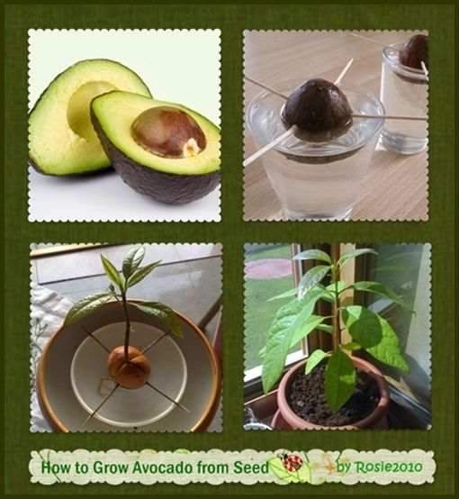 how to grow avocado from seed or pit plants plants pinterest garten pflanzen und garten. Black Bedroom Furniture Sets. Home Design Ideas