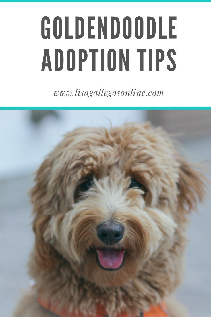 Goldendoodle adoption tips in 2020 with images