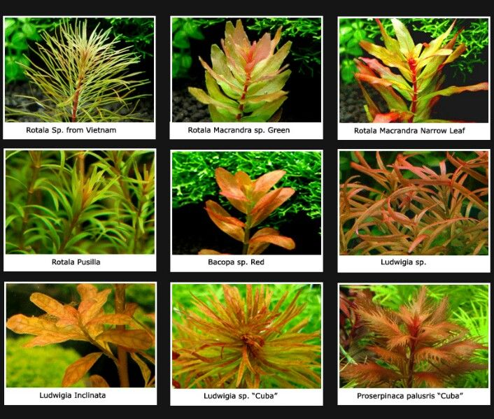 Plantas De Acuario Amarillas Naranjas Planted Aquarium Fish Tank Plants Freshwater Plants