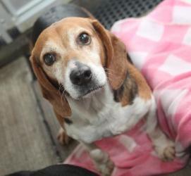 Adopt Kelvin Adoption Pending On Beagle Dog Adoptable Beagle Beagle
