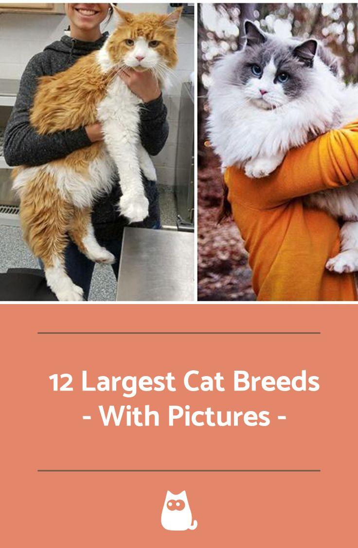 The 12 Largest Cat Breeds Large cat breeds, Cat breeds