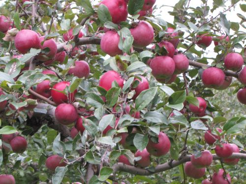 growing information on honey crisp The lone Red Spy