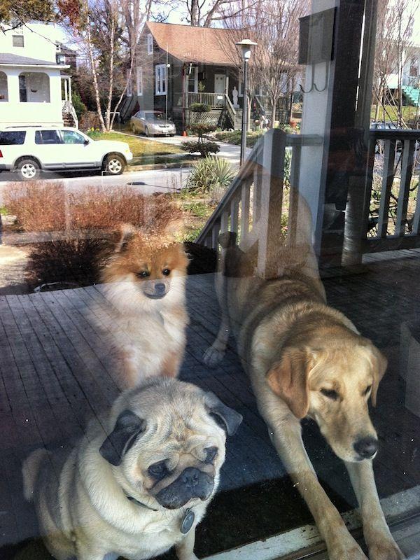 Doot doot doot lookin\' out my front door | Pugs | Pinterest ...