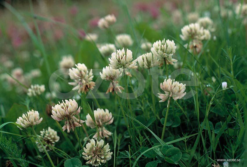 Vitklöver Trifolium repens; Mycket allmän i Uppland