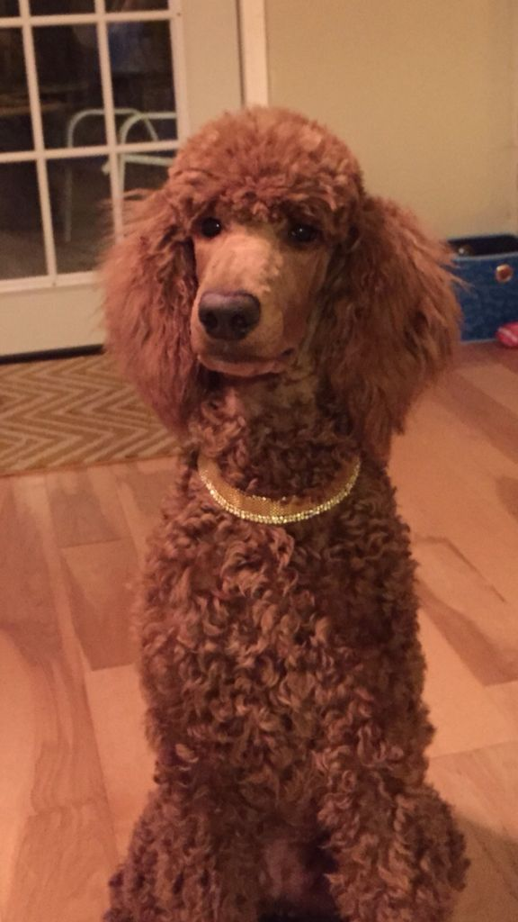 Jinger In Gold Necklace With Images Pretty Poodles Red