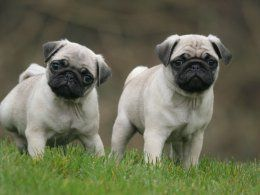 Male pug puppies for sale! | Middlesbrough, North Yorkshire | Pets4Homes