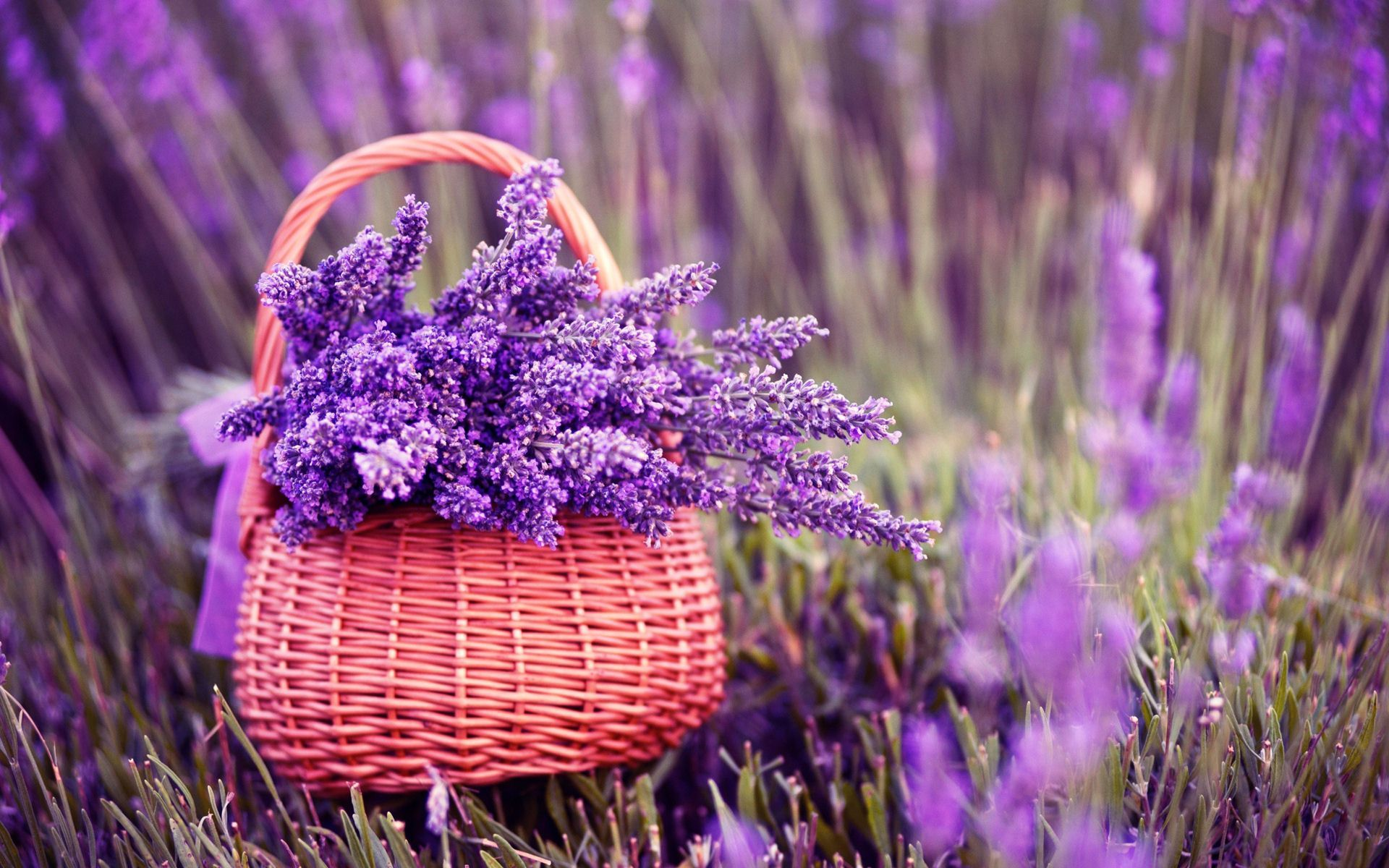 Purple Lavender Flowers In Basket Images Buy Flowers Online Lavender Basket Lavender Flowers